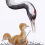 Jeřáb popelavý / kresba tužkou a pastelkou