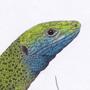 Ještěrka zelená / kresba tužkou a pastelkou