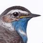 Slavík modráček / kresba tužkou a pastelkou