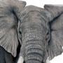 Slon africký / kresba tužkou a pastelkou