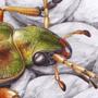 Střevlík zlatitý / kresba tužkou a pastelkou