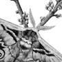 Martináč hrušňový / kresba tuší