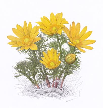 Hlaváček jarní / kresba tužkou a pastelkou