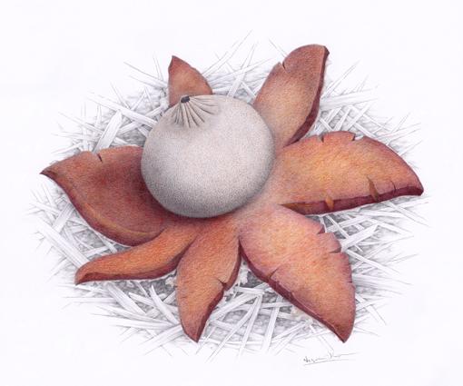 Hvězdovka pouzarova / kresba tužkou a pastelkou