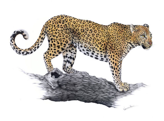 Levhart skvrnitý / kresba tužkou a pastelkou