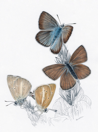 Modrásek ligrusový / kresba tužkou a pastelkou