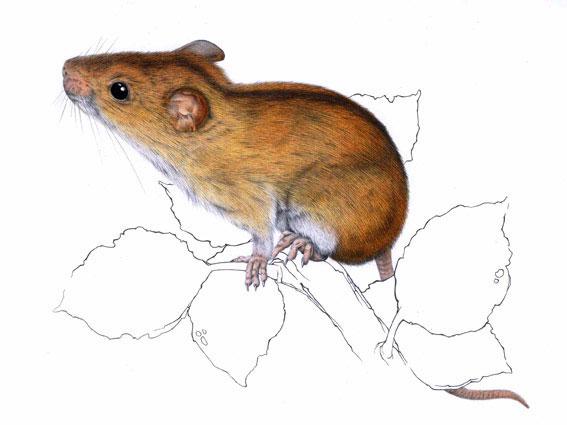 Myšice temnopásá / kresba tužkou a pastelkou