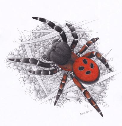 Stepník rudý / kresba tužkou a pastelkou