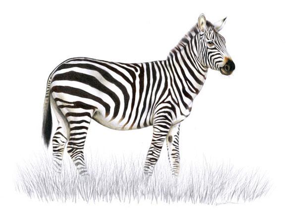 Zebra Böhmova / kresba tužkou a pastelkou