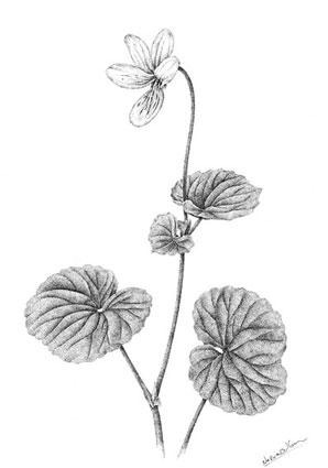 Violka dvoukvětá / kresba tuší