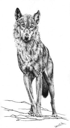 Vlk / kresba tuší